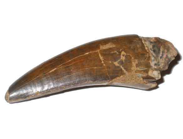 577 t rex. tyrannosaurus rex teeth