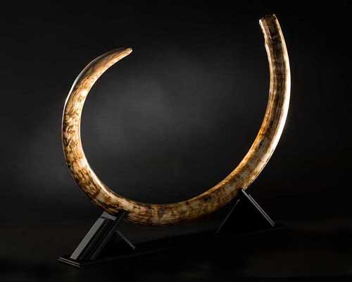 Photo of an Wooly Mammoth Tusk